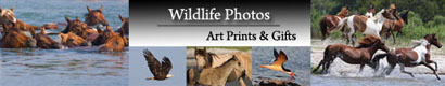 Chincoteague Wildlife Photos